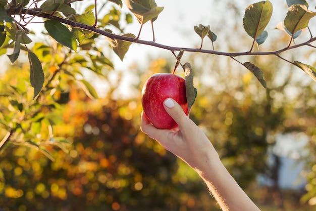女性の手は果樹園のリンゴの木の枝に美しいおいしい赤いリンゴを持って、食物鉱石のリンゴジュースを収穫します。
