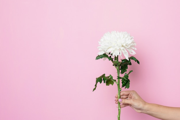 Female hand holds beautiful white flower on a pink surface