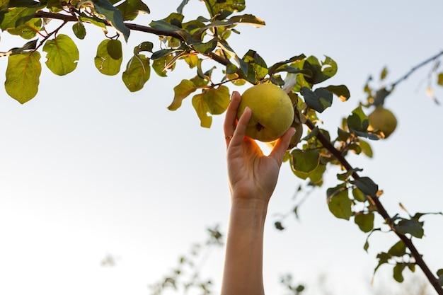 女性の手は、果樹園のリンゴマルメロ果実の木の枝に新鮮でジューシーでおいしい熟したマルメロ果実を持って、食べ物やマルメロジュースを収穫します。外の夏の庭でマルメロの作物。エコ、農産物