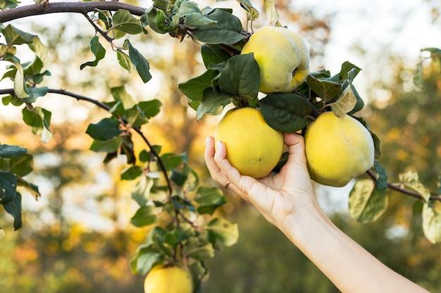 女性の手は、リンゴのマルメロの果実の木の果樹園の枝に新鮮なジューシーでおいしい熟したマルメロの果実を保持します