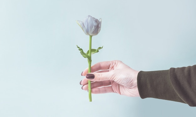 Female hand holds or gives one tulip on a cold blue background.