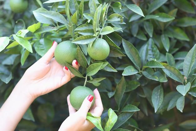 여성의 손은 오렌지 개념의 정원 숙성 일정에서 나무에 녹색 설익은 오렌지를 들고 있다