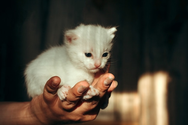 Female hand holds a newborn white kitten