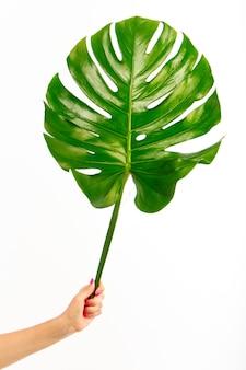 女性の手は白の単一の新鮮な緑の怪物の葉を保持します