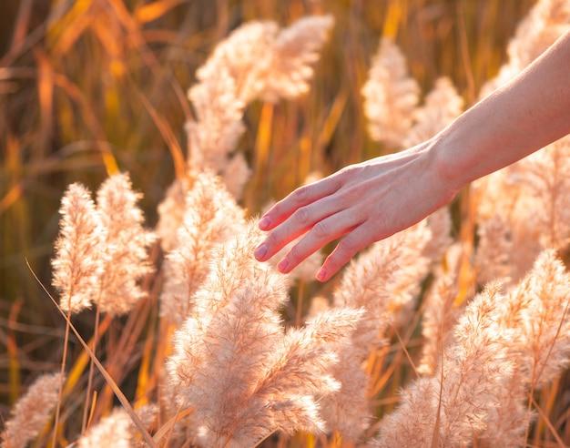 ふわふわの葦を背景に女性の手