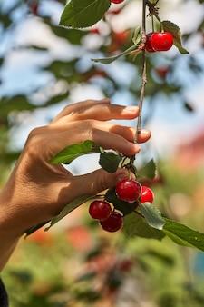 Женская рука, собирающая вишню с ветки в саду