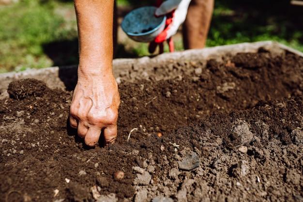 土壌中の女性の手植物豆の種子。認識できない年配の女性のガーデニング
