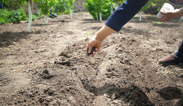 種豆を土に植える女性の手。