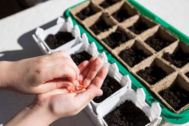 여성 손 심기, 보육 트레이 야채 garden. 원예, 집에서 심기. 발아 상자에 씨앗을 파종하는 아이. 창턱의 상자에있는 씨앗에서 자란 초기 묘목.