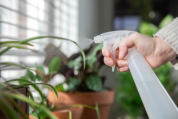 スプレーボトルで窓枠の屋内観葉植物に水を噴霧する女性の手、緑の観葉植物の世話をするモダンな室内装飾居心地の良い家