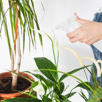 Female hand spraying water on plant with spray bottle