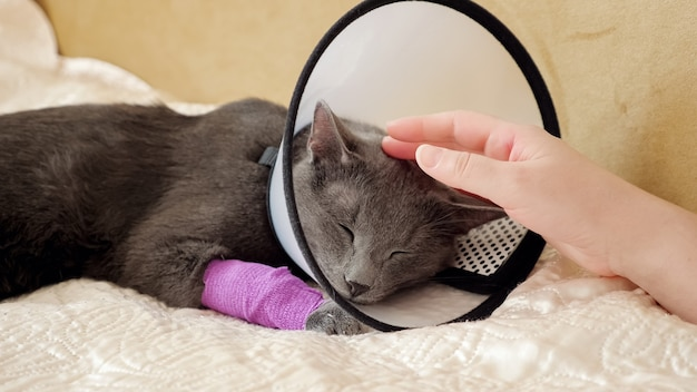 Female hand strokes a sleeping gray cat. pet with a veterinary collar and bandaged paw.