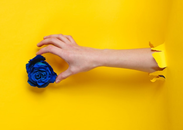 Female hand takes blue dry rose bud through torn yellow paper hole. minimalistic concept