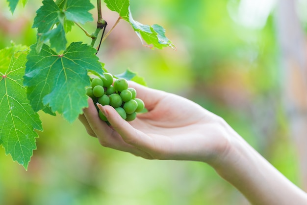 Female hand touching grape on tree