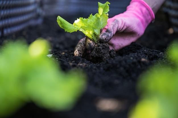 Женская рука в розовых садовых перчатках сажает саженцы зеленого салата в темную плодородную почву.