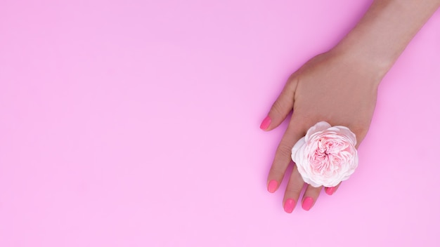 분홍색 매니큐어와 분홍색 배경에 장미 꽃이 있는 여성 손. 배너. 공간을 복사합니다. 평면도.