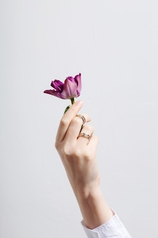 Female hand with rings holds purple tulip on gray background