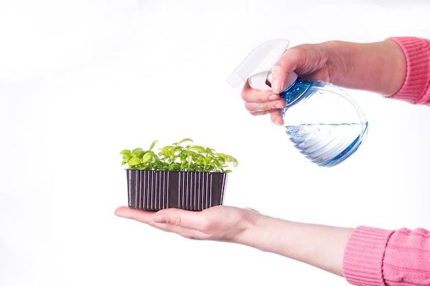 흰색 표면에 물을 microgreens 밝아진 여성 손
