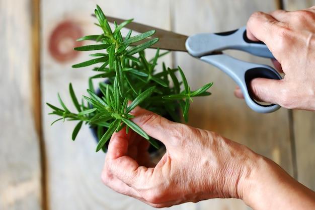 女性の手、ローズマリーの枝、はさみ。鍋にローズマリー。