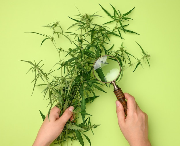 Female hands are holding a hemp bush and a wooden magnifying glass. concept of searching for alternative treatments, medical cannabis treatment