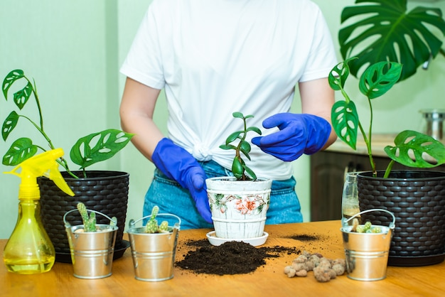 Female hands in blue garden gloves, replanting houseplants at home.