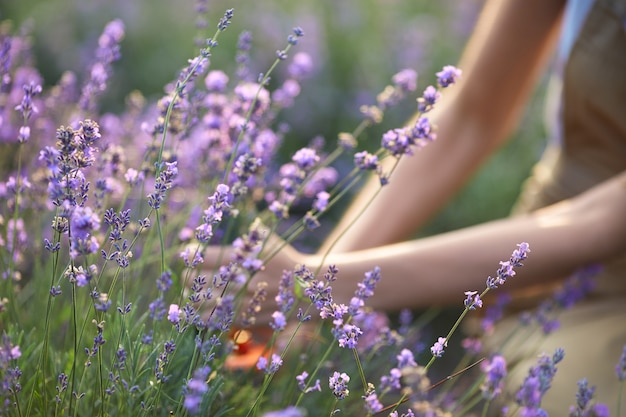 Female hands collecting lavender harvest in field