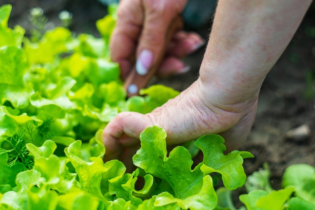 Female hands of a farmer cut off green ripe salad from a garden bed harvesting healthy food concept