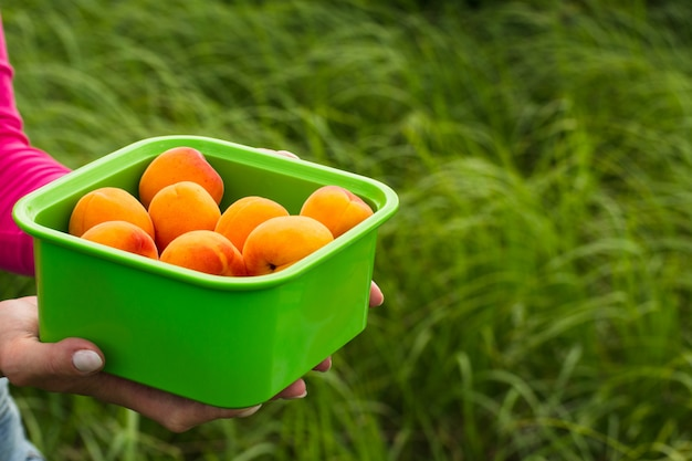Female hands hold a bowl with ripe apricots