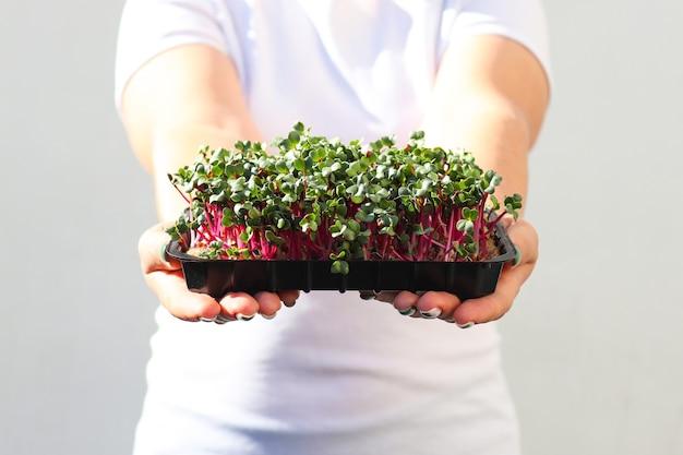 女性の手は大根のマイクログリーンを保持しますマイクログリーンを育てる健康食品ビーガン食品ダイエットの概念