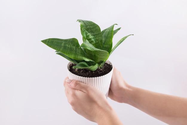 Женские руки держат растение сансевиерии в горшке, изолированном на белом фоне. скопируйте пространство.