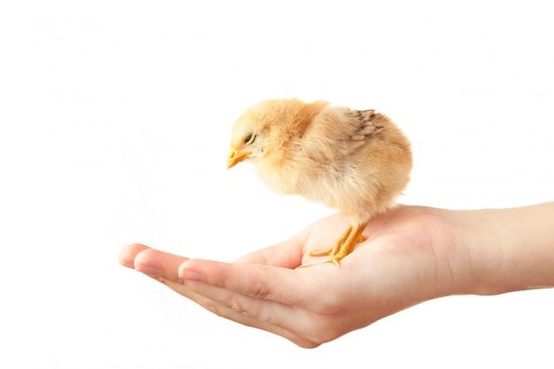 Женские руки держа цыпленок изолированный на белизне.