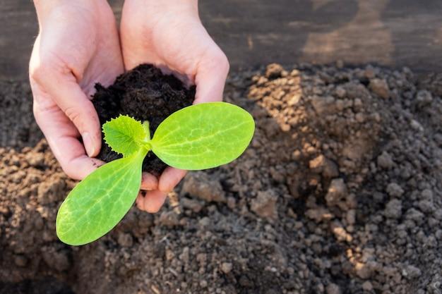 Женские руки, держа молодой зеленый саженец, прорастают в почве, крупным планом. весенняя посадка растений в грунт. концепция украшения дома и сада