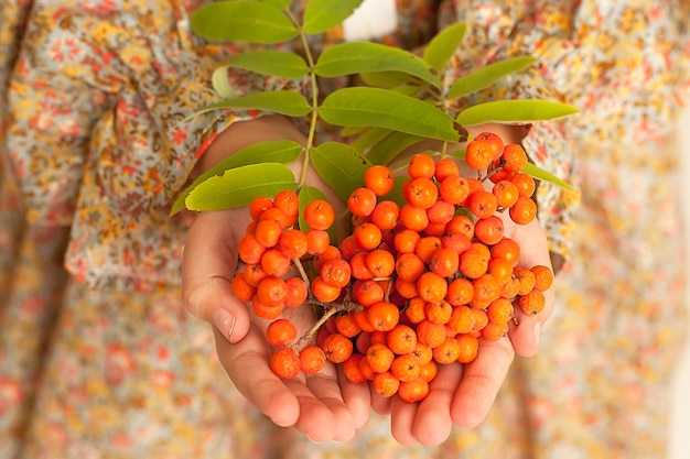 Female hands holding a bunch of red rowan berries. autumn concept.