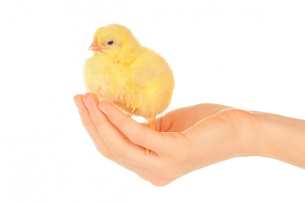 Female hands holding little chick on white background