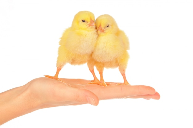 Female hands holding little chick