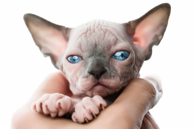 Female hands holding pretty kitten of canadian sphynx cat on white background closeup view