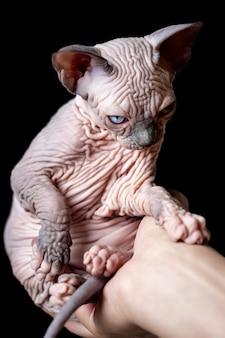 Женские руки, держа редкого лысого котенка канадского сфинкса на черном фоне
