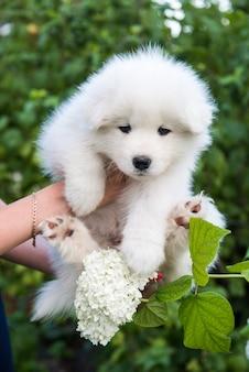 アジサイの花の背景に白いサモエド子犬を外で保持している女性の手
