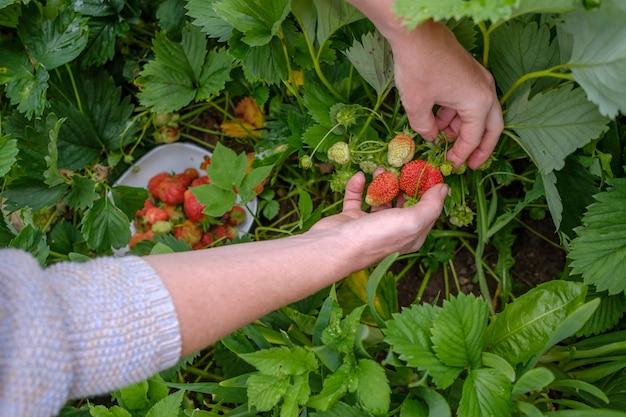 女性の手は熟した赤い環境に優しいイチゴを選びます
