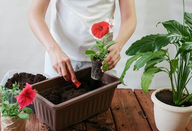 女性の手は、閉鎖空間のポットにペチュニアの花を植えます。ガーデニングと園芸のコンセプト。
