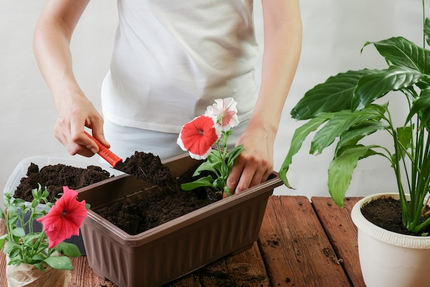 女性の手は、閉鎖空間のポットにペチュニアの花を植えます