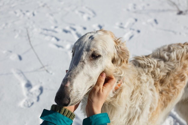 Female hands stroking the head of a white borzoi