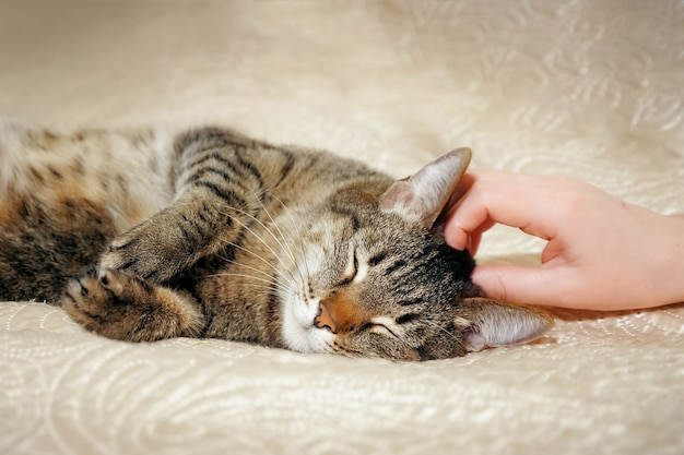 Female hands stroking her lovely a cute cat lying on the sofa.
