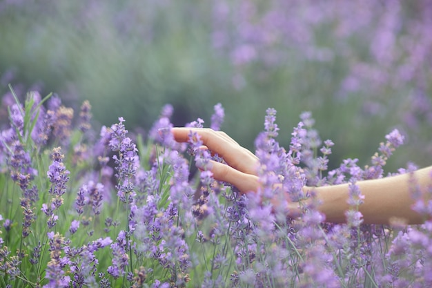 Female hands touching flowers in lavender field