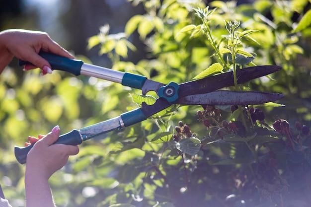 大きな庭ばさみで大きな庭ばさみでベリーの茂みを剪定する女性の手