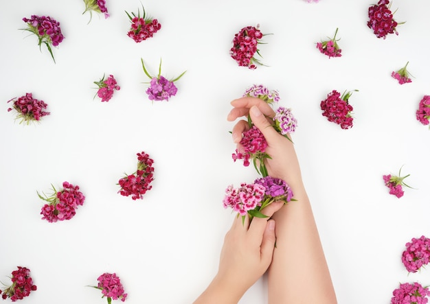Female hands with light smooth skin and buds of blossoming turkish carnation on white