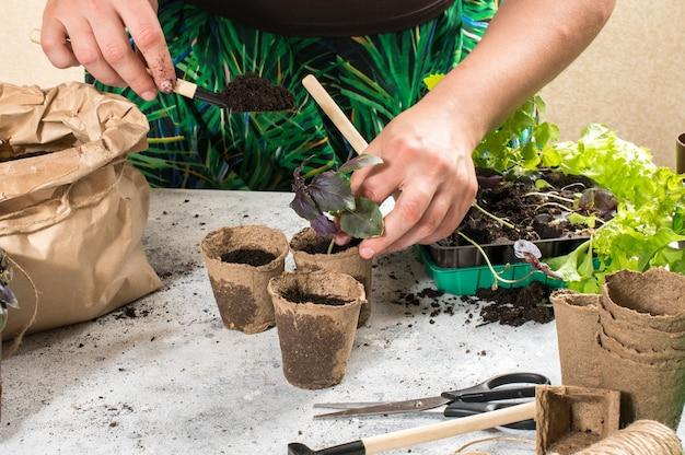Женские руки с рассадой. выращивание еды дома на подоконнике