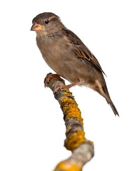 암컷 집 참새, passer domesticus, 4개월, 흰색 배경 앞