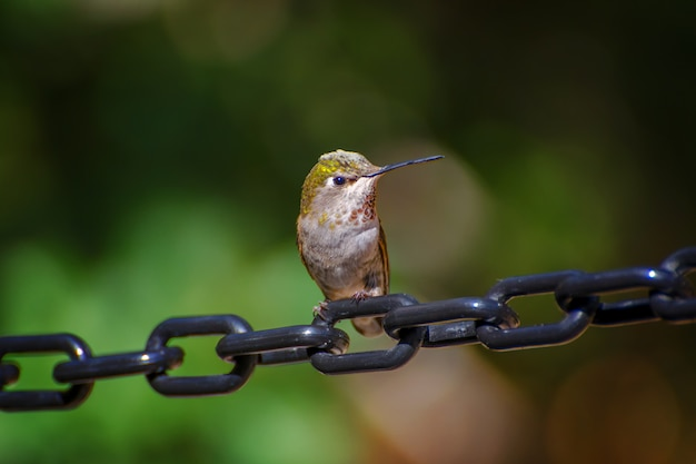 Female hummingbird perched on black linked chain