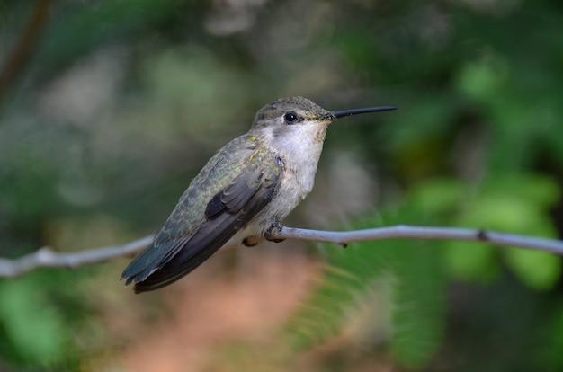Female hummingbird sitting upon a branch